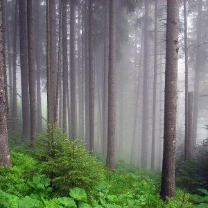 Ukraine Forest